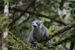 Female Crowned lemur (Eulemur coronatus) winking