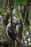 Female Crowned lemur (Eulemur coronatus) [madagascar_3803]
