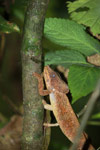 Amber Mountain chameleon (Calumma ambreense) [madagascar_3806]