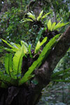 Bird nest ferns