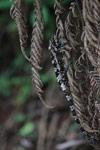 Camouflaged Amber Mountain chameleon (Calumma ambreense) [madagascar_3823]