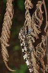 Camouflaged Amber Mountain chameleon (Calumma ambreense) [madagascar_3826]