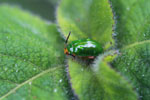 Green beetle with an orange head [madagascar_3832]