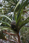 Madagascar Screw Pine (Pandanus utilis) fruit