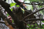 Malagasy Scops-Owl (Otus rutilus)