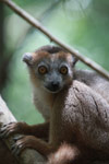 Female Crowned lemur (Eulemur coronatus) [madagascar_3993]