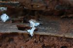 Flatid leaf bug nymphs, resembling white lichen [madagascar_4115]
