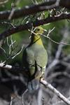 Madagascar blue-eyed green pigeon (Treron australis)