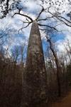 Diego Suarez Baobab (Adansonia suarezensis) [madagascar_4183]