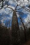 Diego Suarez Baobab (Adansonia suarezensis) [madagascar_4184]
