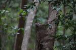 Northern Lepilemur (Lepilemur septentrionalis) [madagascar_4235]