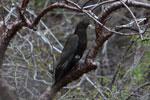 Greater Vasa Parrot (Coracopsis vasa) [madagascar_4319]