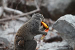 Female crowned lemur, carrying baby, feeding on a mango rind [madagascar_4327]