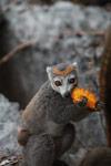 Female crowned lemur feeding on a mango rind [madagascar_4346]