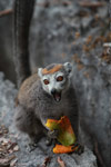 Female crowned lemur feeding on a mango rind while perched on sharp limestone tsingy [madagascar_4352]