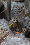 Female crowned lemur feeding on a mango rind while perched upon limestone tsingy [madagascar_4360]