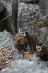 Female crowned lemur feeding on a mango rind while perched upon limestone tsingy [madagascar_4360]