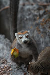 Female crowned lemur feeding on a mango rind while perched upon limestone tsingy [madagascar_4363]