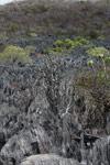 Succulent plants growing amid the tsingy