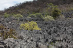 Dry forest growing amid tsingy near Lac Vert