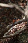 Male Madagascar Paradise-flycatcher (Terpsiphone mutata [madagascar_4434]