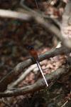 Male Madagascar Paradise-flycatcher (Terpsiphone mutata [madagascar_4436]