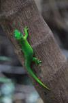 Madagascar giant day gecko (Phelsuma madagascariensis) [madagascar_4442]