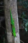Madagascar giant day gecko (Phelsuma madagascariensis) [madagascar_4448]