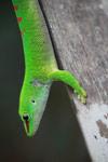 Madagascar giant day gecko (Phelsuma madagascariensis) [madagascar_4457]