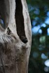 Northern Sportive Lemur (Lepilemur septentrionalis) peeking out of a tree hollow