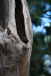 Northern Sportive Lemur (Lepilemur septentrionalis) peering out of a tree hollow [madagascar_4465]