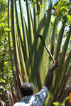 Extracting water from the traveler's palm using a machete [madagascar_4542]