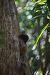 Grey-backed weasel lemur (Lepilemur dorsalis)