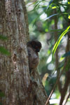 Grey-backed sportive lemur (Lepilemur dorsalis)