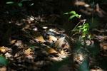 Madagascar giant hognose snakes [madagascar_4565]