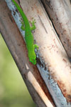Madagascar giant day gecko (Phelsuma madagascariensis) on Nosy Be [madagascar_4608]