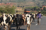 Zebu cattle blocking the road [madagascar_4640]