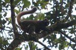 Golden Bamboo Lemur (Hapalemur aureus) [madagascar_4842]