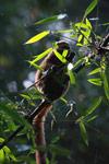 Golden Bamboo Lemur (Hapalemur aureus) eating bamboo [madagascar_4852]