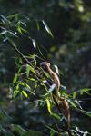 Golden Bamboo Lemur (Hapalemur aureus) eating bamboo [madagascar_4857]