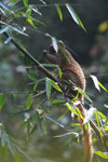 Golden Lemur (Hapalemur aureus) [madagascar_4864]