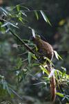 Golden Bamboo Lemur (Hapalemur aureus) [madagascar_4865]