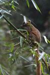 Golden Bamboo Lemur (Hapalemur aureus) [madagascar_4867]