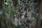 Madagascar Pygmy-kingfisher (Ceyx madagascariensis) [madagascar_4884]