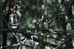 Madagascar Pygmy-kingfisher (Ceyx madagascariensis) [madagascar_4895]