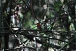 Madagascar Pygmy-kingfisher (Ceyx madagascariensis) [madagascar_4898]