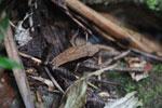 Mantidactylus melanopleura [madagascar_4901]