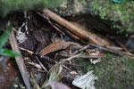 Mantidactylus melanopleura [madagascar_4902]