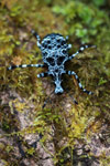 Black and white marbled weevil (Curculionidae family)