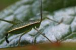 Katydid [madagascar_4922]